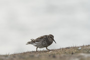 Calidris marritima,